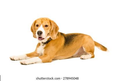 Portrait of a beagle dog lying isolated on white background