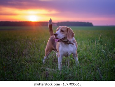 portrait of a Beagle dog on the background of a beautiful sunset sky and sunlight during a walk in the spring. natural landscape