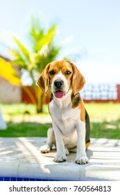 A portrait of a beagle dog standing next to a pool in a hot summer day.