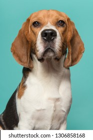 Portrait of a beagle looking at the camera on a turquoise blue background in a vertical image