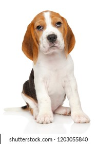 Portrait of Beagle puppy on white background. Baby animal theme