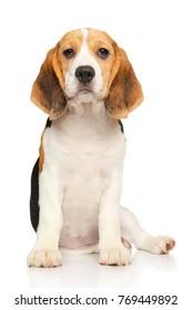 Portrait of Beagle puppy on white background