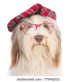 Portrait of a bearded Collie dog with Scottish hat and glasses.