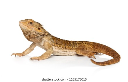 Portrait of Bearded Dragon lizard on white background