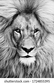 Portrait of beautiful African lion in black and white.