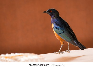 Portrait of beautiful african starling with blue wings and yellow body in Kenya