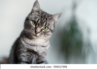 Portrait of beautiful American shorthair cat with green eyes, looking in the camera.