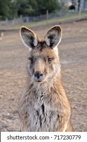 Portrait of beautiful Australian brown Kangaroo