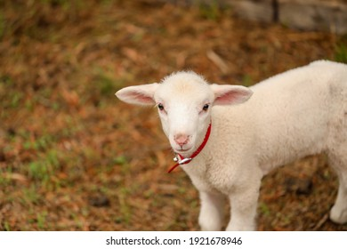 Portrait of beautiful baby lamb wearing red collar with bell looking directly at camera with copy space