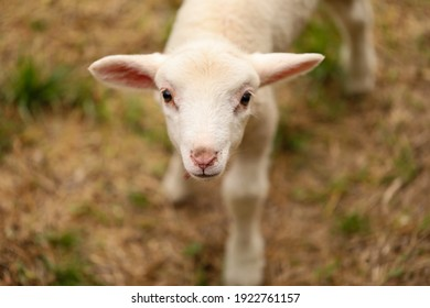 Portrait of beautiful baby lamb wearing red collar with bell looking directly at camera