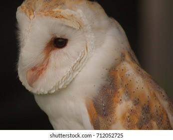 A portrait of a beautiful Barn Owl.