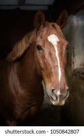Portrait of a beautiful bay horse in a stable stall