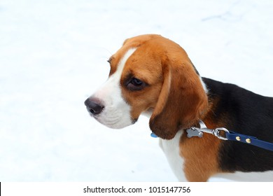 Portrait of beautiful beagle with funny long ears and kind eyes against white snow. Friendly dog on blue lead, close up.