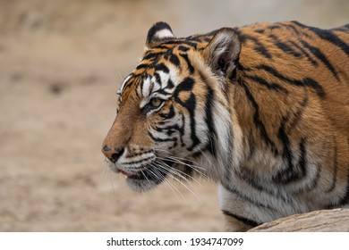 portrait of a beautiful big cat