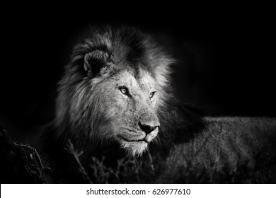 Portrait of beautiful big Lion from the four Musketeers in Masai Mara, Kenya in black and white