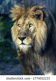 Portrait of a beautiful big male Barbary the Lion, Panthera leo leo