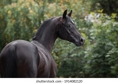 Portrait of a beautiful black arabian horse on natural green summer background, head closeup. Back side view