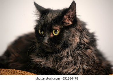 portrait beautiful black chantilly tiffany cat home