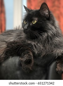 Portrait of a beautiful black Chantilly Tiffany cat at home .