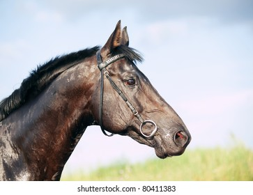 portrait of beautiful  black stallion