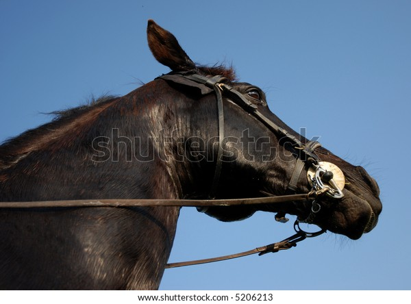 portrait of a beautiful black stallion with his bridle in a blues sky