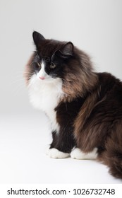 Portrait of beautiful black and white long-haired Norwegian Forest Cat, sitting in front of camera and isolated on white background