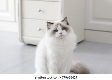 Portrait of the beautiful blue eyes ragdoll cat