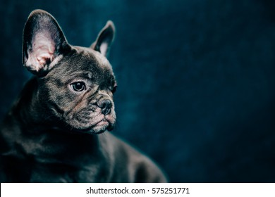 Portrait of a beautiful blue french bulldog with space for text