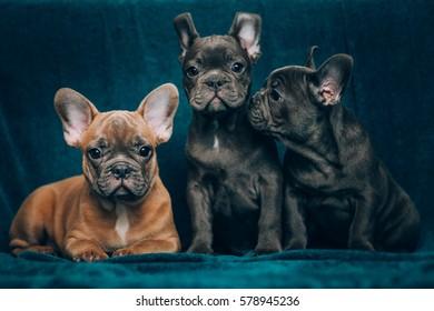 Portrait of a beautiful blue french bulldog