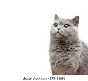 portrait of a beautiful British cat with a surprised expression