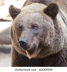 portrait of a beautiful brown bear outdoor
