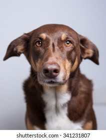 Portrait of a beautiful brown dog.