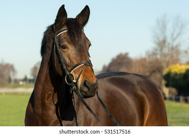 Portrait of beautiful brown horse head with bridle over a blue sky and green grass background, horizontal view