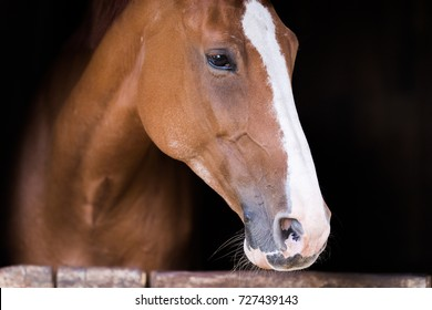 Portrait of a beautiful brown purbred horse