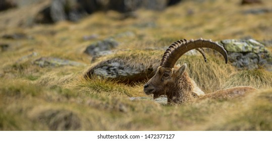 Portrait of a beautiful Capricorn resting in the Mountain Grass