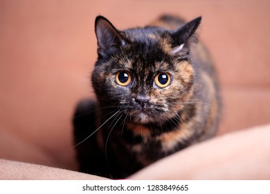 Portrait of a beautiful cat with yellow eyes