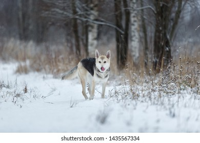 Portrait of beautiful charismatic mixed breed husky dog walkding in a meadow.