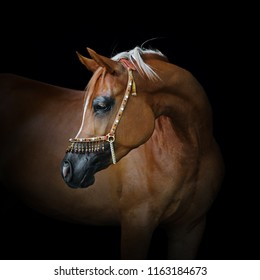 Portrait of a beautiful chestnut arabian horse look back isolated on black background
