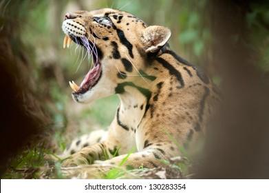 Portrait of Beautiful Clouded Leopard (Neofelis Nebulosa)