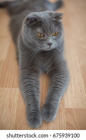 Portrait of a Beautiful cute gray British cat with yellow eyes.