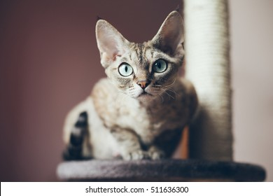 Portrait of a beautiful Devon Rex cat looking at the camera, natural light shoot, nice shadows. Cat uses scratching post. Cat breeds.
