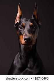 Portrait of a beautiful Doberman Pinscher. Studio headshot.