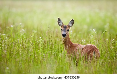 Portrait of a beautiful doe in a grass field