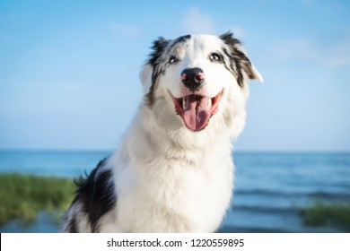 Portrait of a beautiful dog Australian Shepherd Aussie against the blue sky by the sea