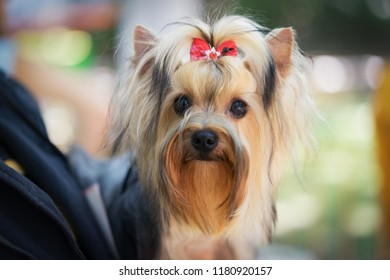 portrait of a beautiful dog breed yorkshire terrier, with a red bow in his hair, on the hands of the owner