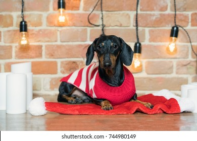 portrait beautiful dog dachshund, black and tan, in a red Christmas hat and a sweater on a brick wall background decorated with festive candles and lapms