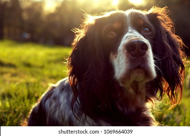 portrait of a beautiful dog - English springer spaniel - sittng on a grass on sunset