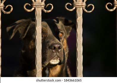 Portrait of a beautiful dog (watchdog) behind the gate (who stands guard) with focus in the nose