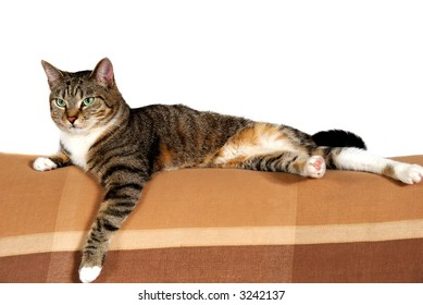 Portrait of a beautiful domestic house cat on the sofa, white background