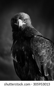 Portrait of a beautiful eagle, crossing of steppe and golden, looking sharply into the lens of the camera
